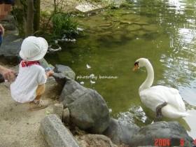 京都市動物園 白鳥