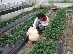 川西観光農園 苺狩りの様子