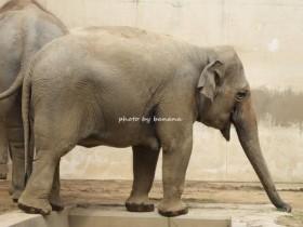 王子動物園 象