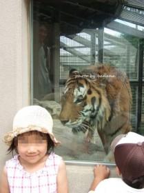 王子動物園 トラ