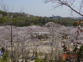摂津峡公園 お花見3