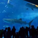 沖縄 美ら海水族館 子連れ ジンベイザメ