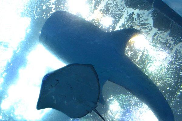 美ら海水族館 ジンベイサメとマンタ