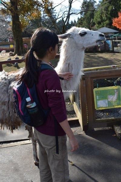 熊本観光 阿蘇カドリードミニオン 動物ふれあいラマ