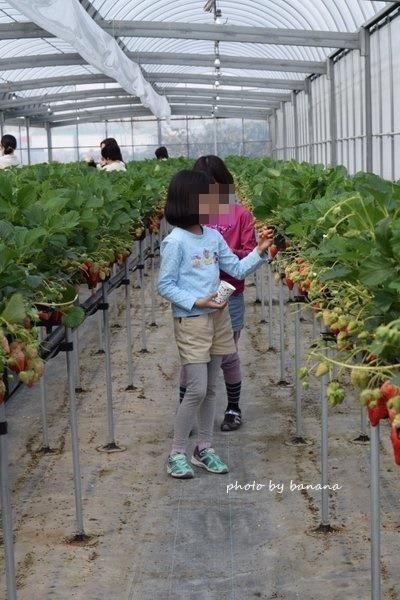 おさぜんいちご狩り農園 大阪周辺城陽市 口コミブログ