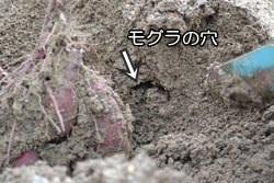 富田林市サバーファーム お芋掘り モグラ