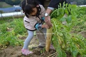 富田林市サバーファーム 大根収穫2
