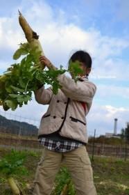富田林市サバーファーム 大根収穫