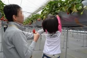 すまいるふぁーむ藤本 幼稚園でもできるイチゴ狩り