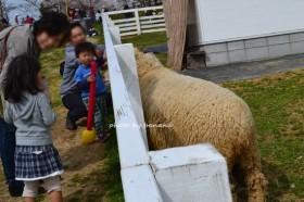 フルーツフラワーパーク 羊