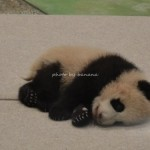 アドベンチャーワールド パンダ赤ちゃん