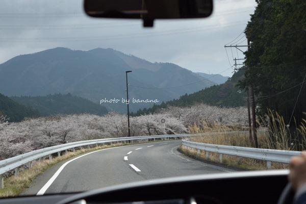 甲賀市鮎河さくらまつり