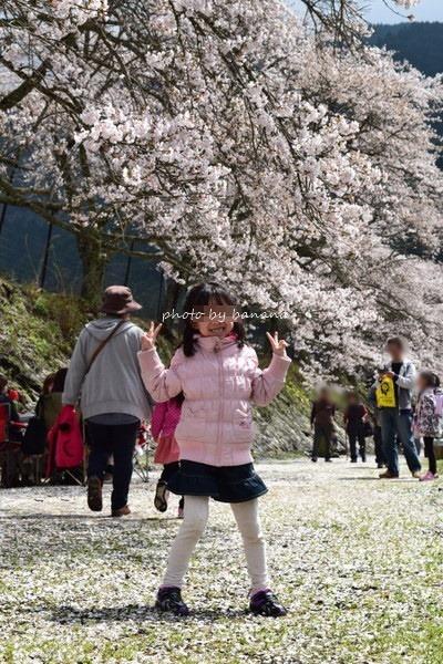 うぐい川(鮎河)千本桜お花見 混雑