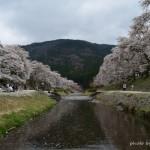 うぐい川(鮎河)千本桜満開お花見
