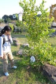 ハーベストの丘 レモンの木