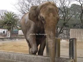 姫路市立動物園 象
