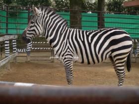 姫路市立動物園 しまうま