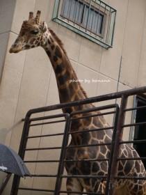 姫路市立動物園 ハートのきりん