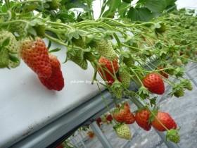 大阪近郊のイチゴ狩り 高所栽培