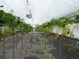 大阪近郊のイチゴ狩り 高い所で栽培