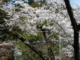 摂津峡公園 桜