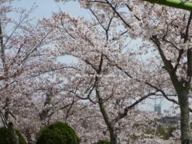 摂津峡公園 お花見5