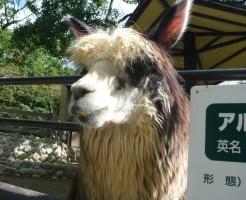 池田市立五月山公園 ふれあい動物園 アルパカ