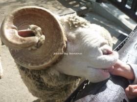池田市立五月山公園 ふれあい動物園 羊