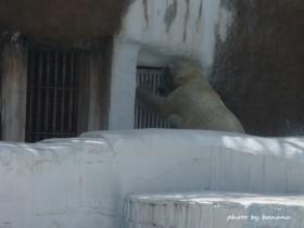 天王寺動物園 シロクマ ごーご