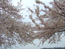 万博記念公園 花見2