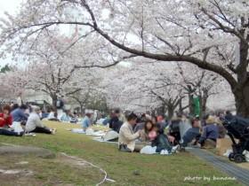 万博記念公園 花見3