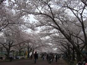 万博記念公園 お花見