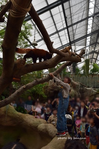 神戸どうぶつ王国 レッサーパンダ
